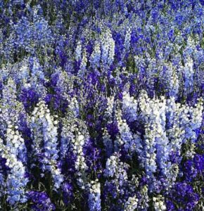 Delphiniums, Flowers of Bath, Blog