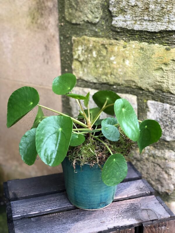 Chines Money Plant - Penelope 'Pilea'