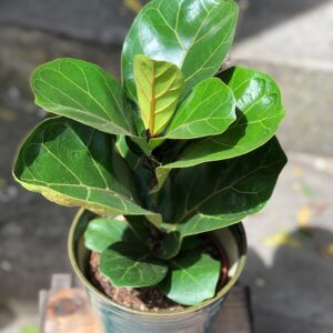 Fiona 'Ficus'